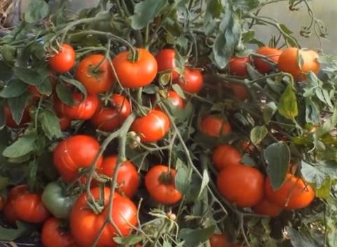 Стелющийся сорт помидоров