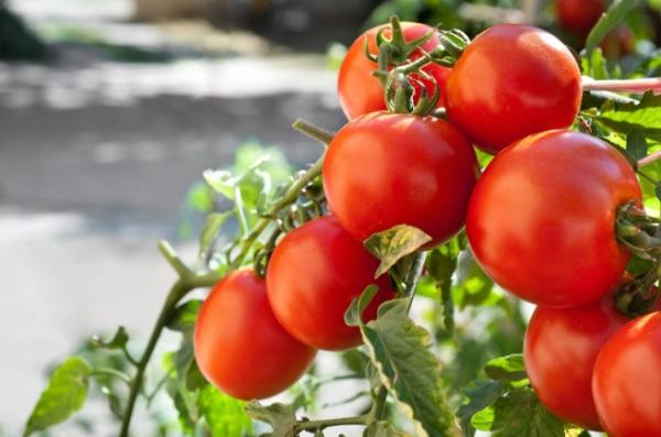 помидоры жорик обжорик описание сорта