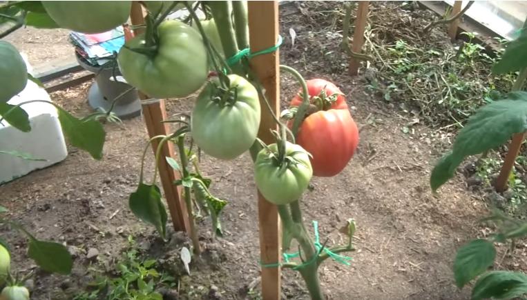Кусты помидоров Алсу