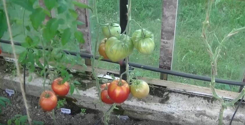 Куст помидоров сорта Батяня