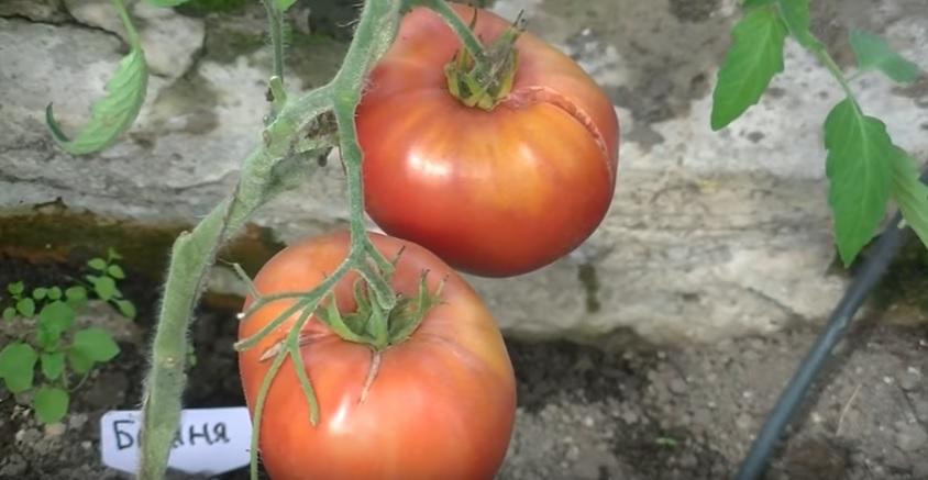 Плоды сорта помидоров Батяня