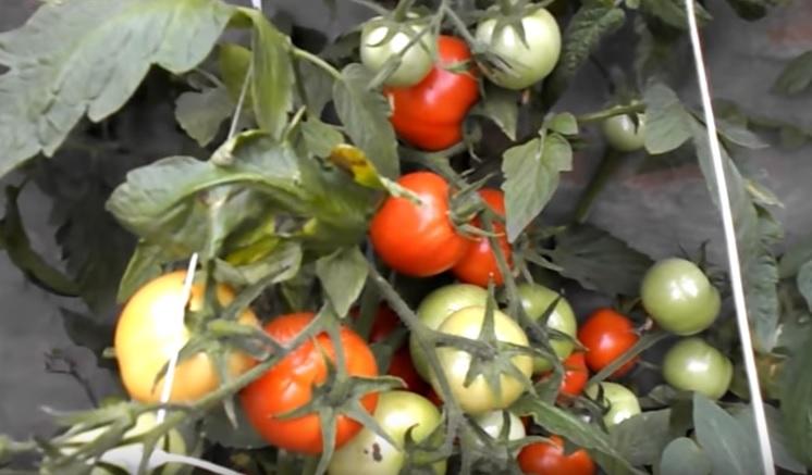 Плоды помидоров Белый налив