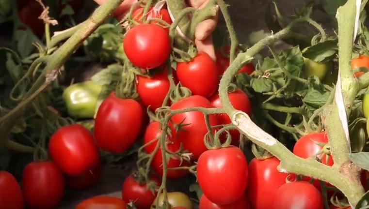 Плоды помидоров Гаспачо