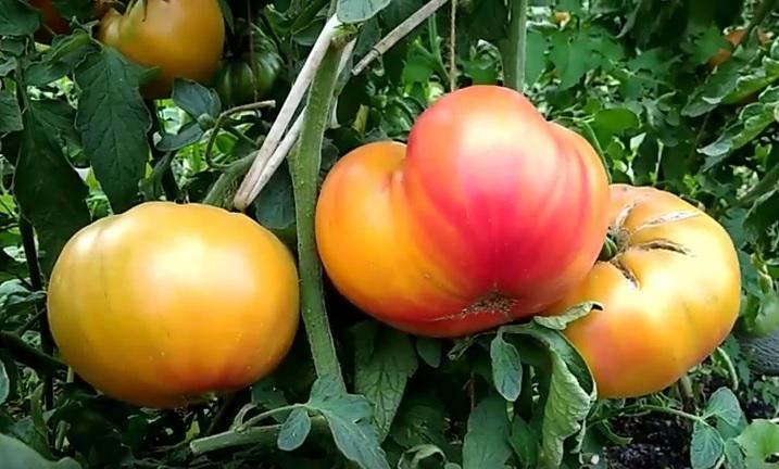 Плоды помидоров