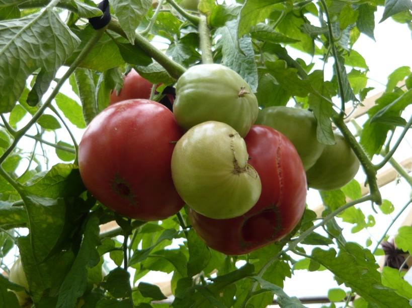 Сорт помидоров Шапка Мономаха