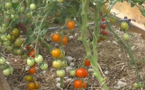 Кусты томатов Златовласка