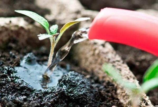 Полив сеянца питательным раствором