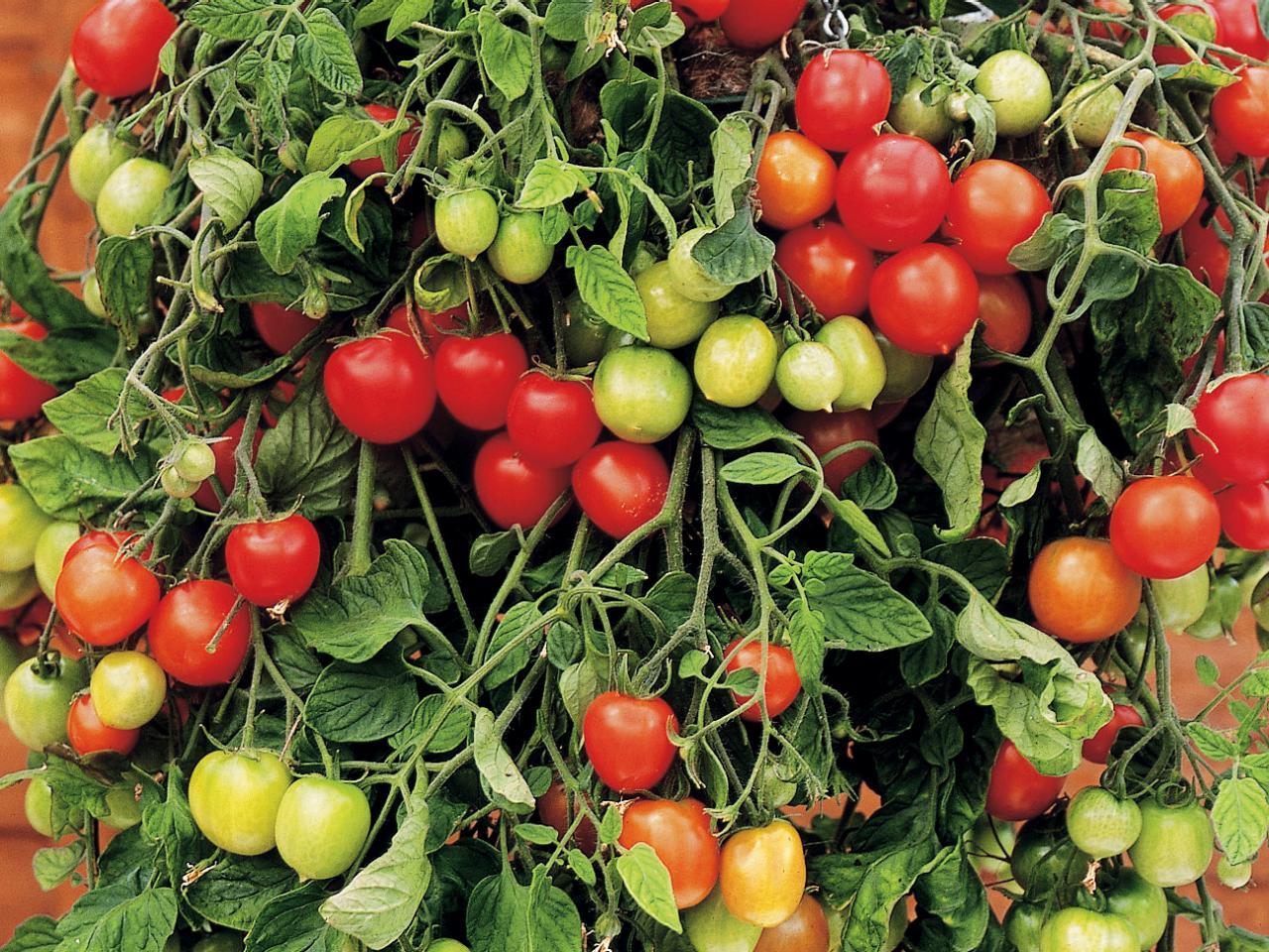 Декоративные помидоры