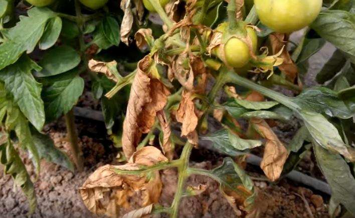 Бактериальное увядание помидоров