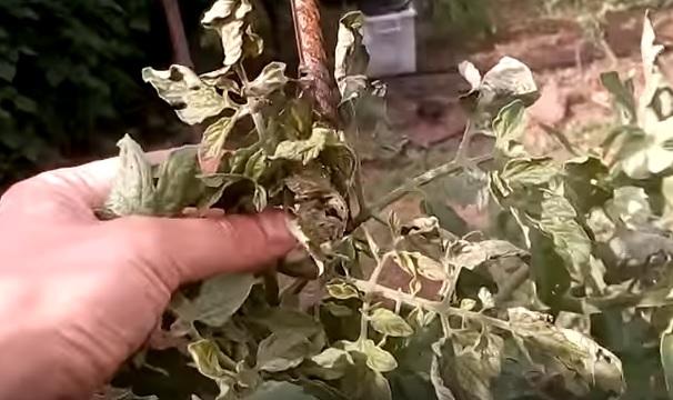 Бактериоз помидоров в открытом грунте