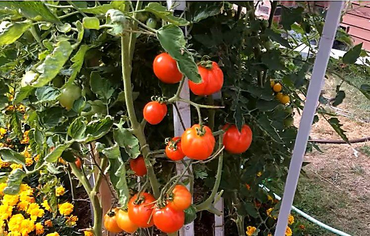 Куст помидорного гибрида Благовест