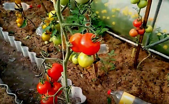 Плоды томатов Благовест