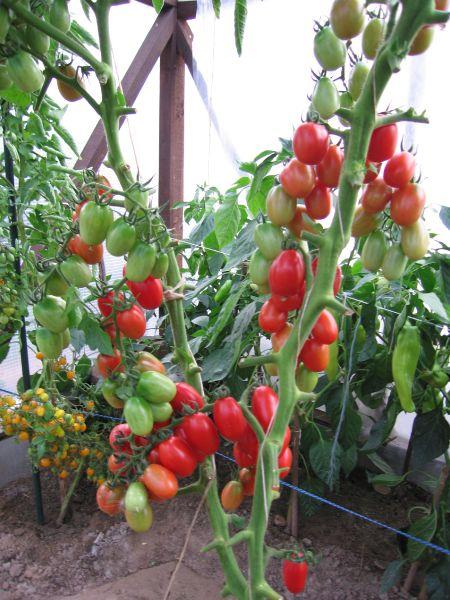 Кусты помидоров Леденец