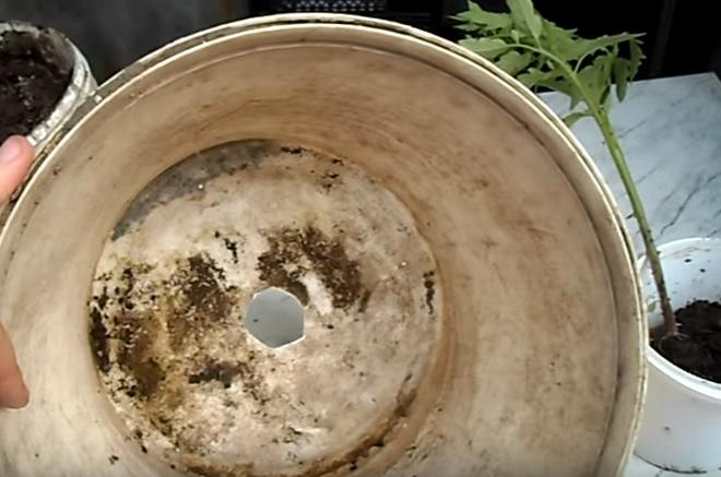 Посадка рассады помидоров вверх тормашками