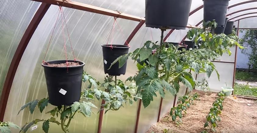 Выращивание помидоров в перевернутом виде в вёдрах