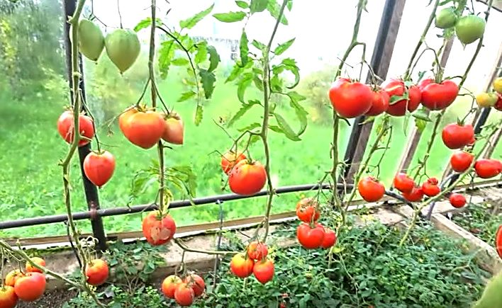 Сорт помидоров Японка в теплице