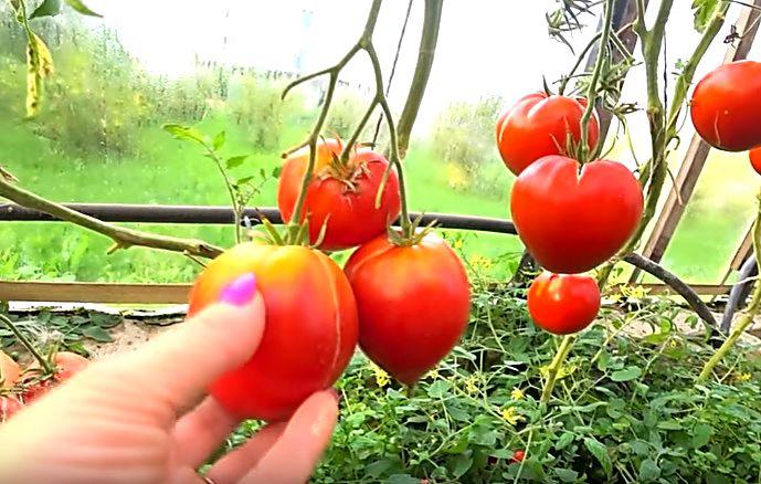 Плоды помидоров на кусте