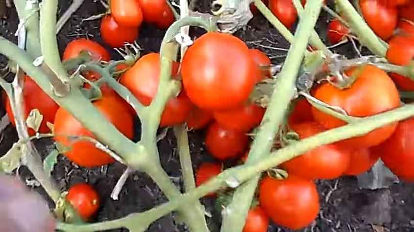 Созревшие плоды на кусте