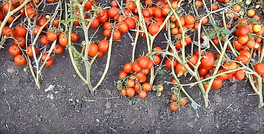 Засолочный сорт томатов