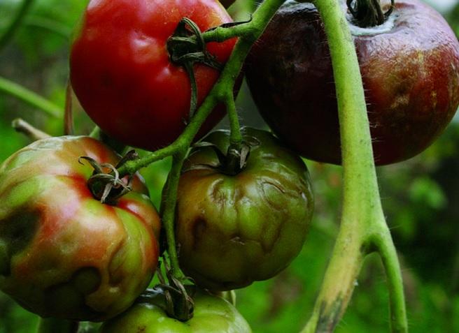 Бронзовость плодов