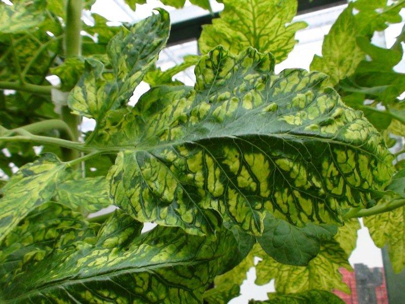 Листья, пораженные вирусом табачной мозаики
