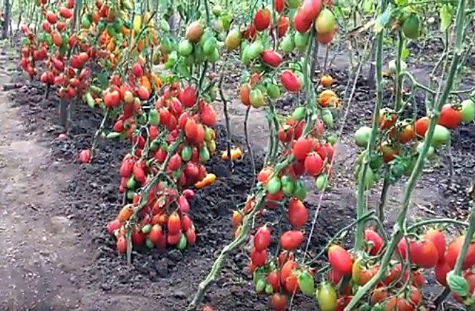 Кусты томатов с созревшими плодами