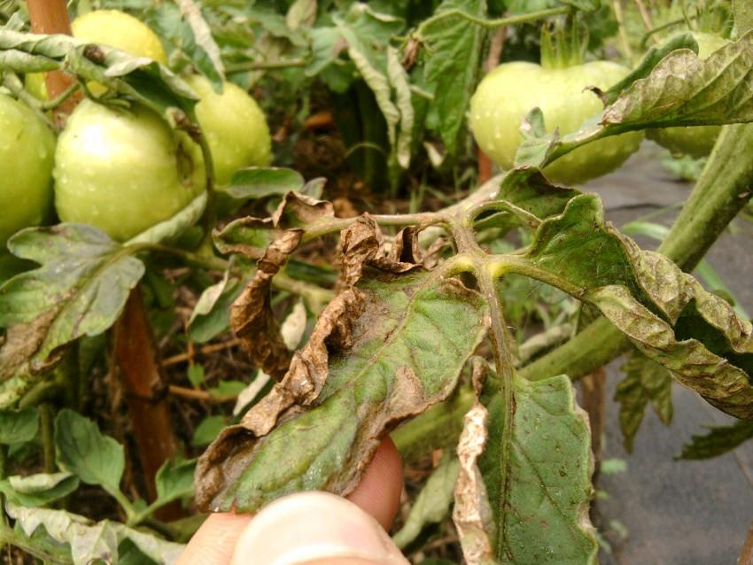 Растение, пораженное фитофторой