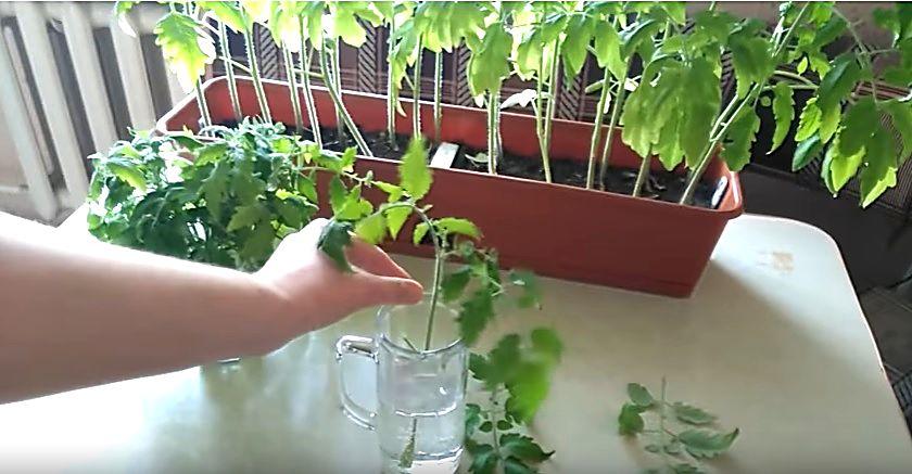 Обрезание верхушек у помидорной рассады