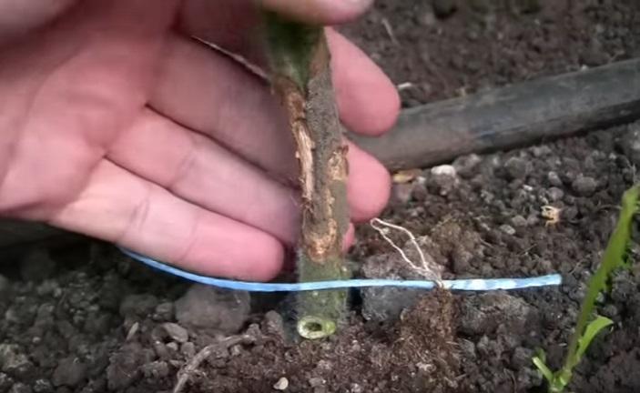 Пораженный гнилью ствол помидора
