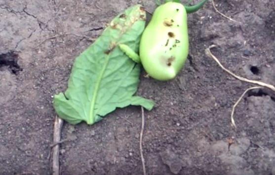 Гусеница, повредившая плод