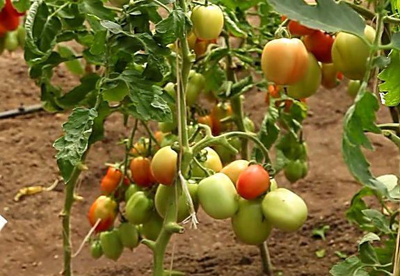 Формирование куста помидора
