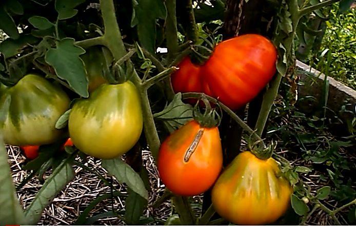 Зрелые помидоры