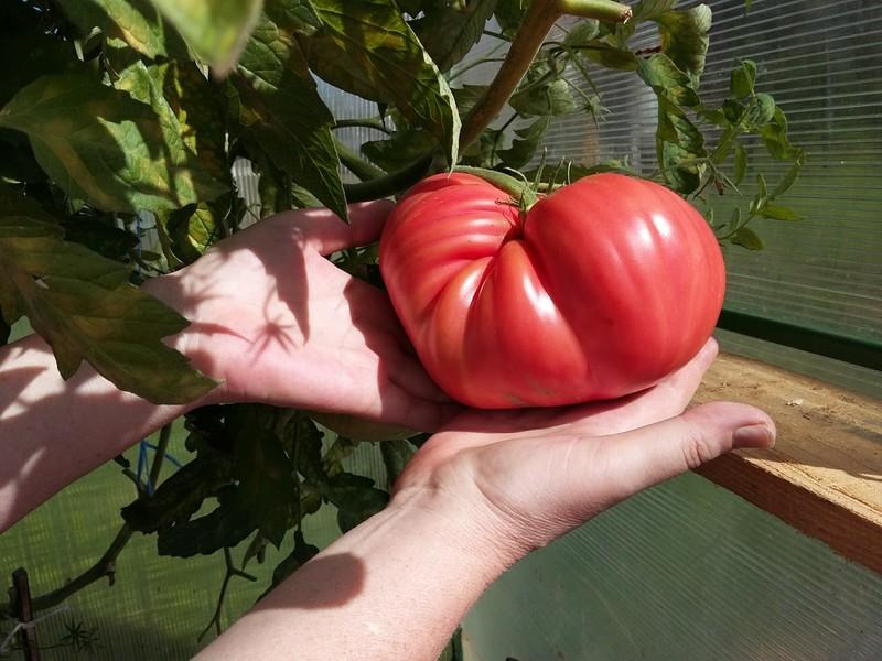 Зрелый плод на кусте