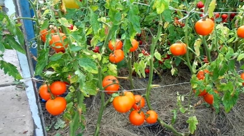 Сформированные кусты помидоров