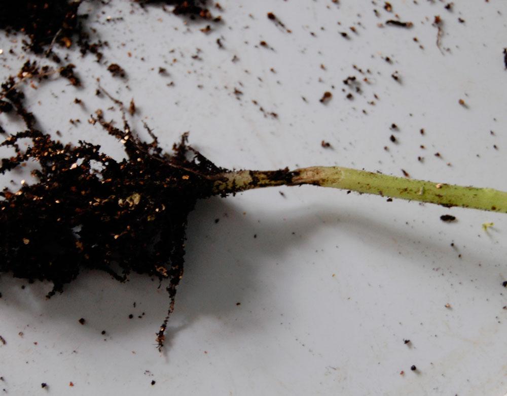 Перетяжка в области семядольного колена