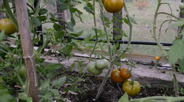 Сформированные кусты томата