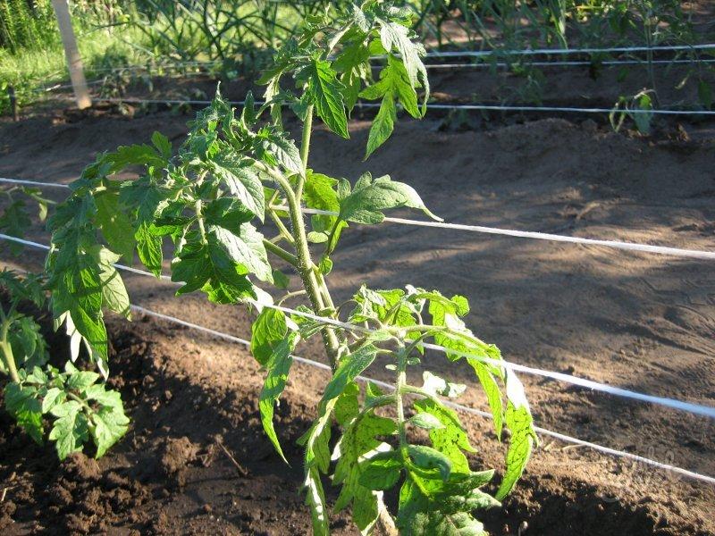 Подвязывание растений