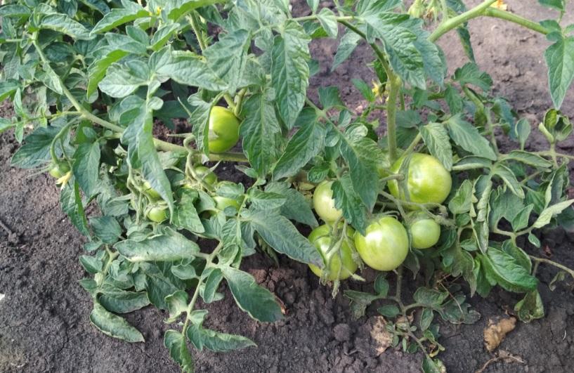 Штамбовый сорт помидоров