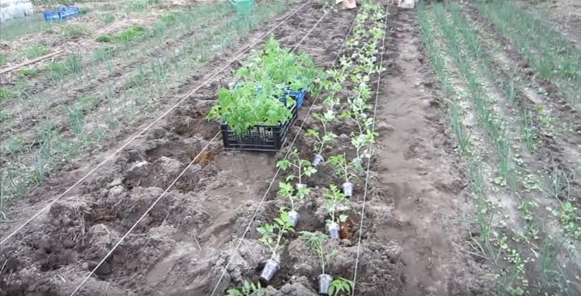 способ посадки томатов в грядках коробах фото русская, где наша