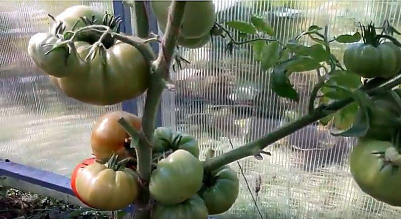 Плоды в стадии бланжевой спелости