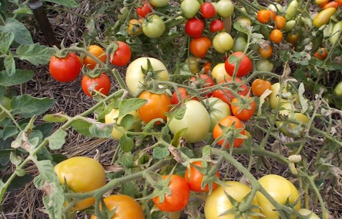 Плоды в стадии технической и биологической спелости