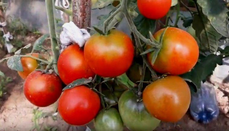 Созревшие помидоры кусте
