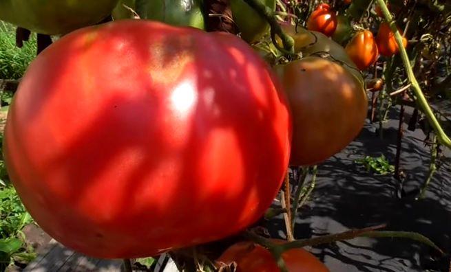 Плод в биологической спелости