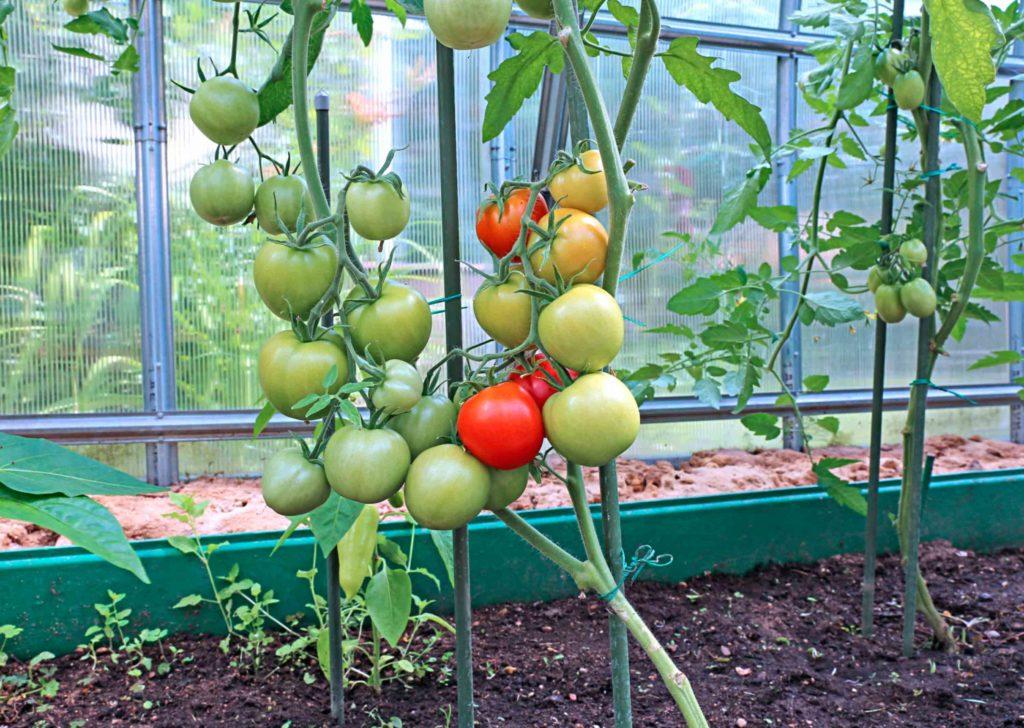 Сформированный куст помидоров