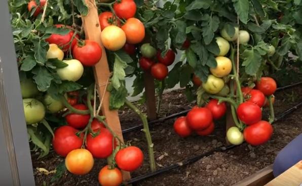 Подвязанные кусты помидоров с плодами
