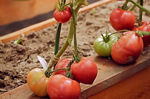 Плоды в стадии биологической или технической спелости