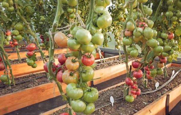 Подвязанные и сформированные кусты помидоров