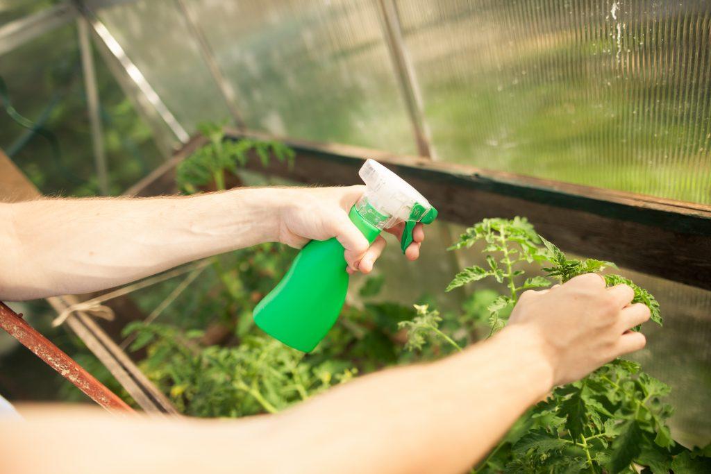 Опрыскивание помидоров раствором пероксида