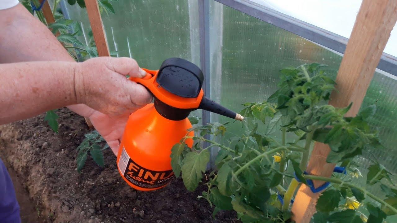 Обработка помидоров по листу во время цветения