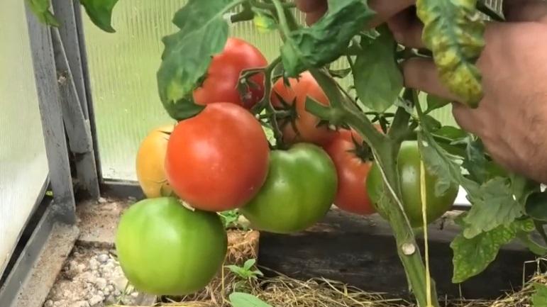 Длодовая кисть с томатами